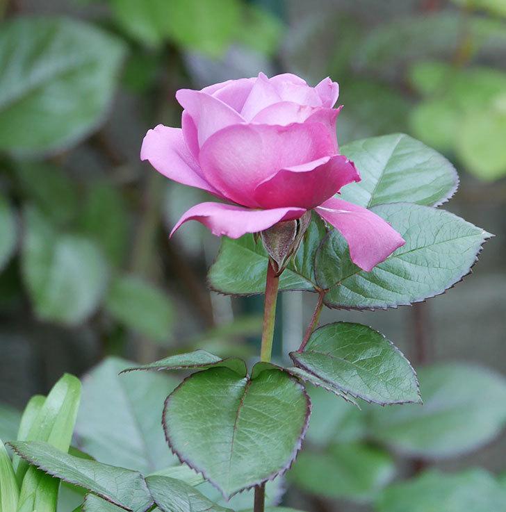 プラム・パーフェクト(木立バラ)の花が咲いた。2020年-11.jpg
