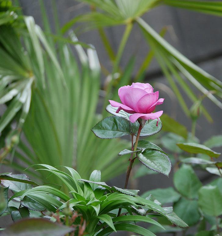 プラム・パーフェクト(木立バラ)の花が咲いた。2020年-12.jpg