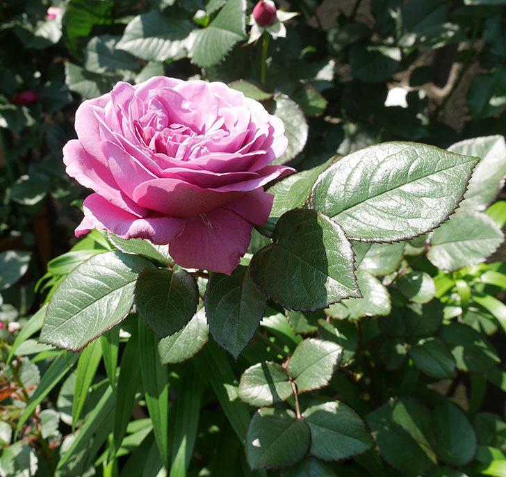 プラム・パーフェクト(木立バラ)の花が咲いた。2020年-13.jpg