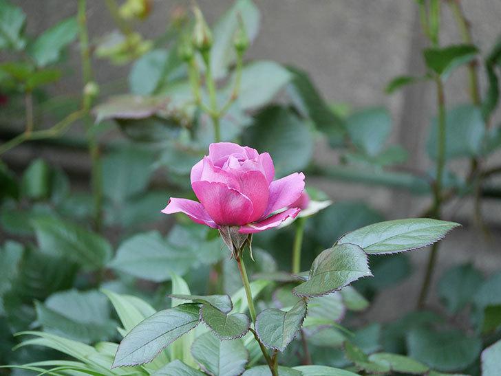 プラム・パーフェクト(木立バラ)の花が咲いた。2020年-5.jpg
