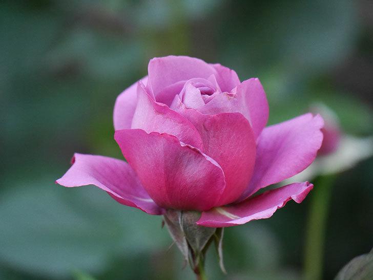 プラム・パーフェクト(木立バラ)の花が咲いた。2020年-6.jpg