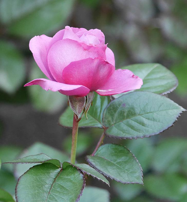 プラム・パーフェクト(木立バラ)の花が咲いた。2020年-7.jpg
