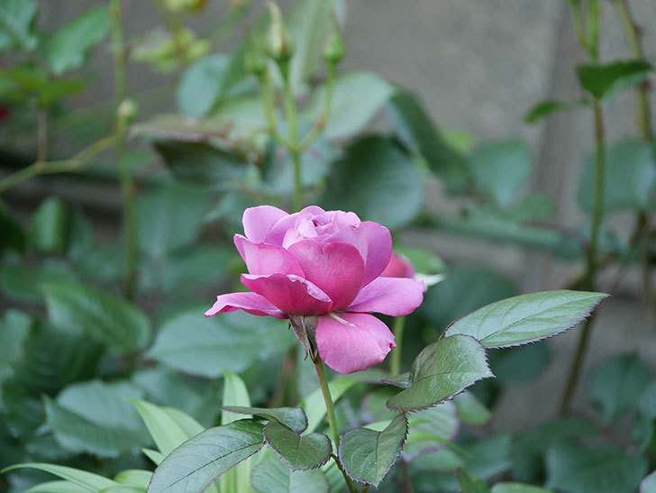 プラム・パーフェクト(木立バラ)の花が咲いた。2020年-9.jpg