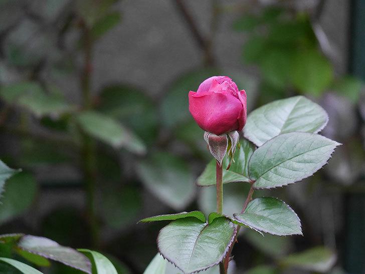 プラム・パーフェクト(木立バラ)の花が少し咲いた。2020年-4.jpg