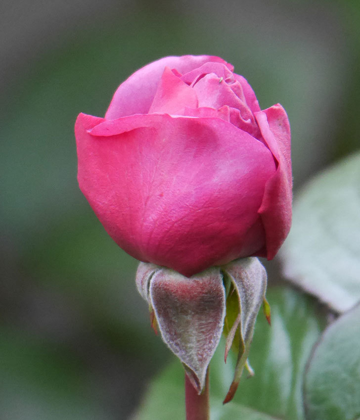 プラム・パーフェクト(木立バラ)の花が少し咲いた。2020年-5.jpg