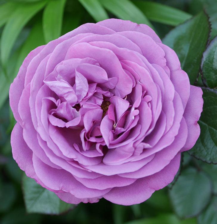 プラム・パーフェクト(木立バラ)の花が綺麗に咲いた。2020年-10.jpg