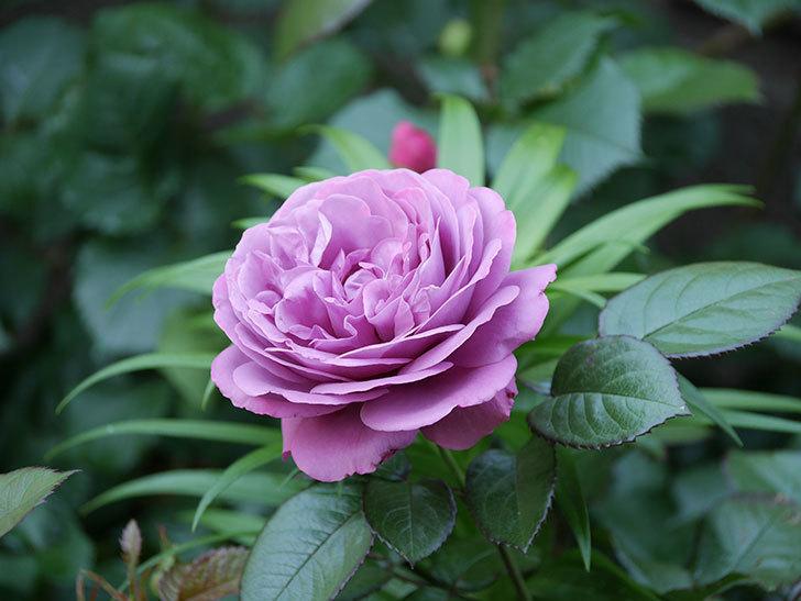 プラム・パーフェクト(木立バラ)の花が綺麗に咲いた。2020年-12.jpg
