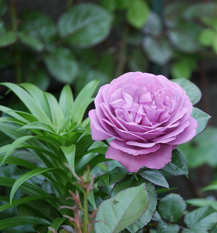 プラム・パーフェクト(木立バラ)の花が綺麗に咲いた。2020年-13.jpg