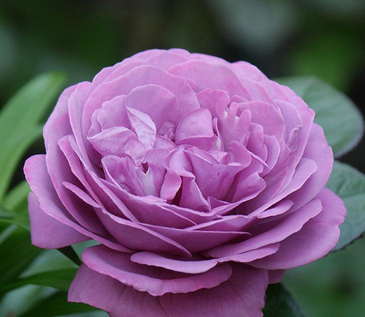プラム・パーフェクト(木立バラ)の花が綺麗に咲いた。2020年-14.jpg