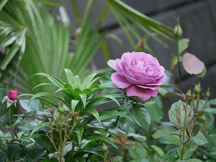 プラム・パーフェクト(木立バラ)の花が綺麗に咲いた。2020年-15.jpg