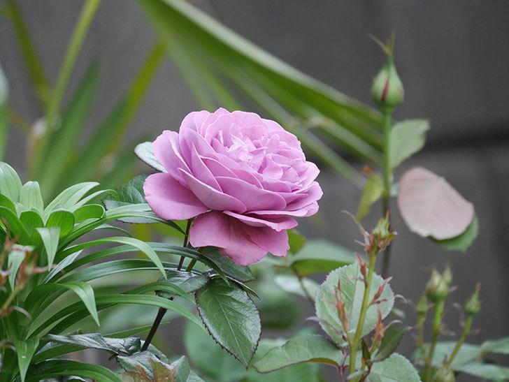 プラム・パーフェクト(木立バラ)の花が綺麗に咲いた。2020年-16.jpg