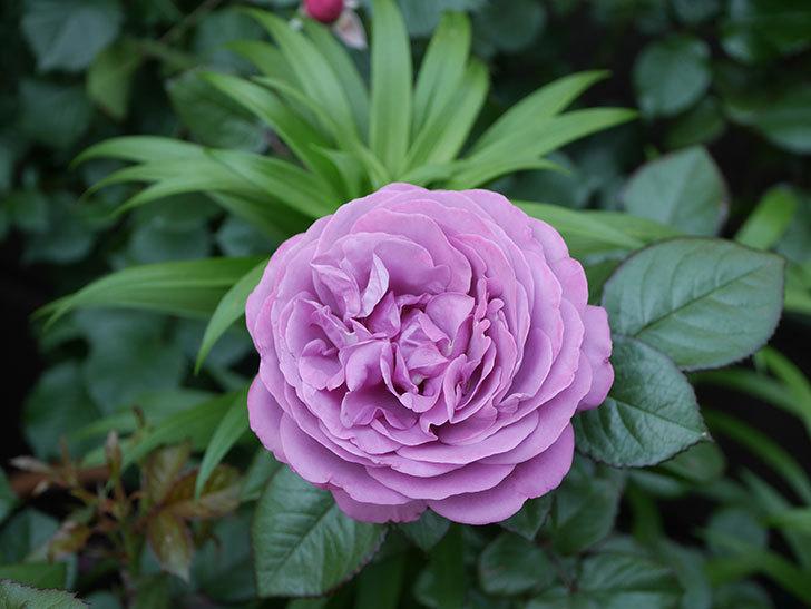 プラム・パーフェクト(木立バラ)の花が綺麗に咲いた。2020年-17.jpg