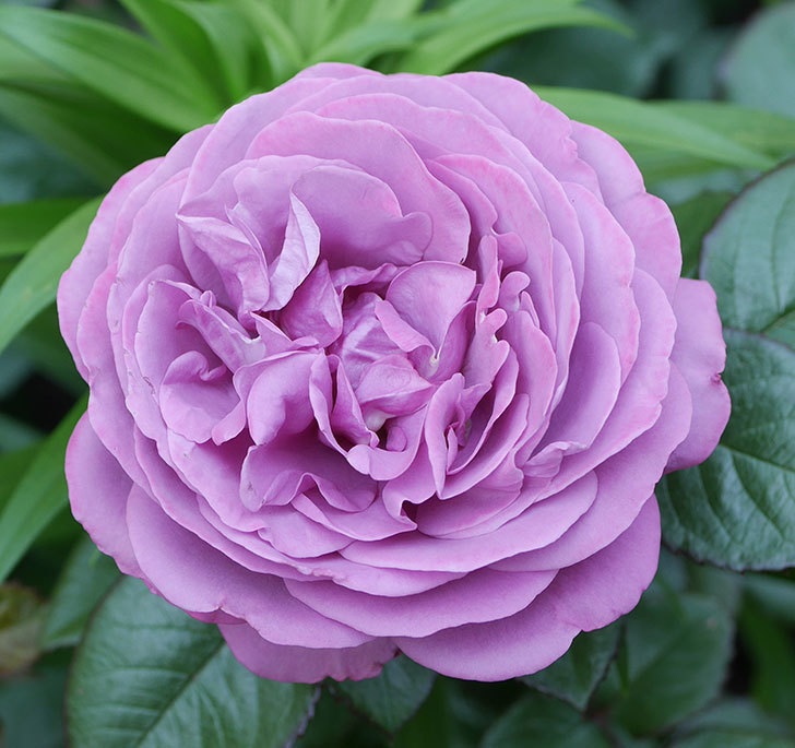 プラム・パーフェクト(木立バラ)の花が綺麗に咲いた。2020年-18.jpg