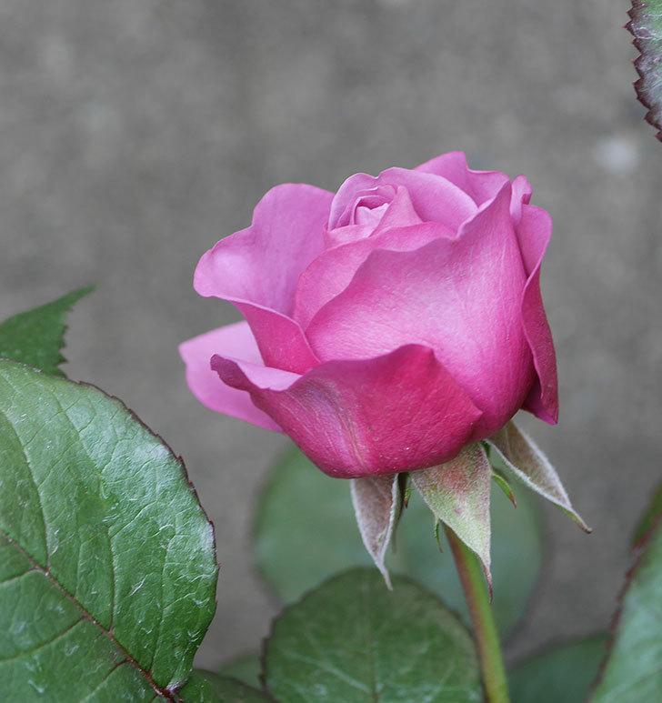 プラム・パーフェクト(木立バラ)の花が綺麗に咲いた。2020年-19.jpg