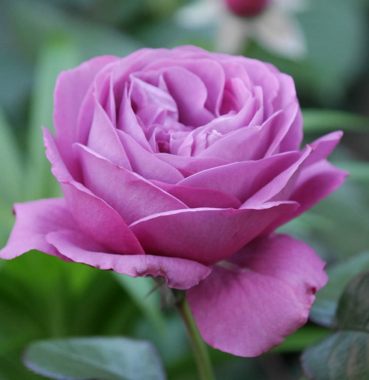 プラム・パーフェクト(木立バラ)の花が綺麗に咲いた。2020年-2.jpg