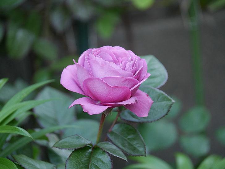 プラム・パーフェクト(木立バラ)の花が綺麗に咲いた。2020年-3.jpg