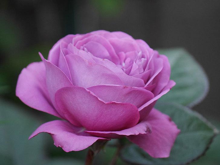 プラム・パーフェクト(木立バラ)の花が綺麗に咲いた。2020年-4.jpg