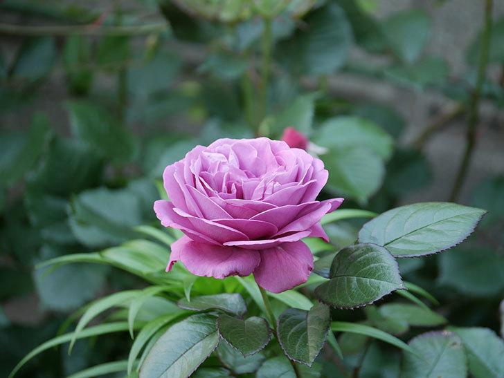 プラム・パーフェクト(木立バラ)の花が綺麗に咲いた。2020年-5.jpg