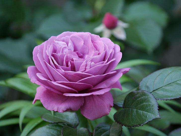 プラム・パーフェクト(木立バラ)の花が綺麗に咲いた。2020年-6.jpg