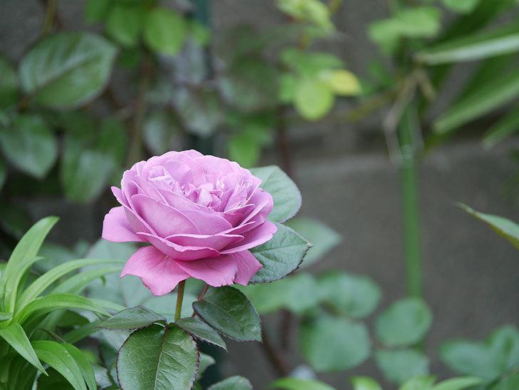 プラム・パーフェクト(木立バラ)の花が綺麗に咲いた。2020年-7.jpg