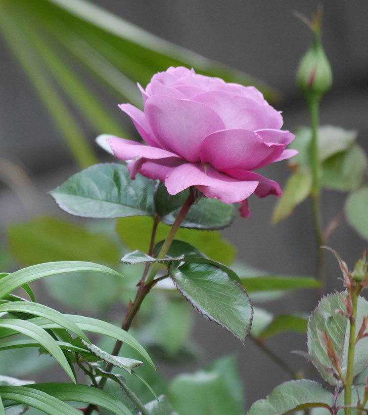 プラム・パーフェクト(木立バラ)の花が綺麗に咲いた。2020年-8.jpg