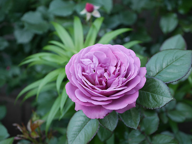 プラム・パーフェクト(木立バラ)の花が綺麗に咲いた。2020年-9.jpg