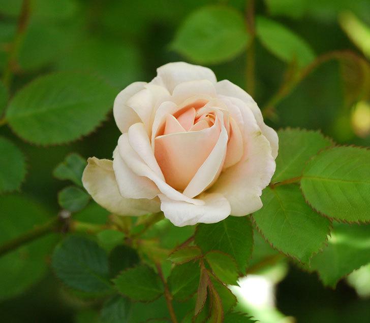 プリティ・レディ(木立バラ)が咲いた。2018年-1.jpg
