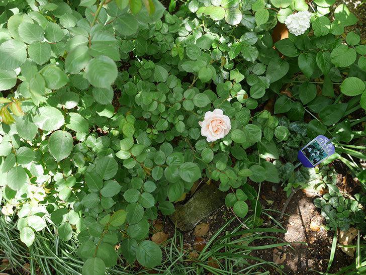 プリティ・レディ(木立バラ)が咲いた。2018年-13.jpg