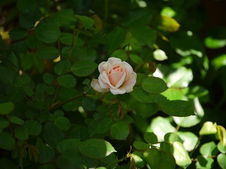 プリティ・レディ(木立バラ)が咲いた。2018年-2.jpg