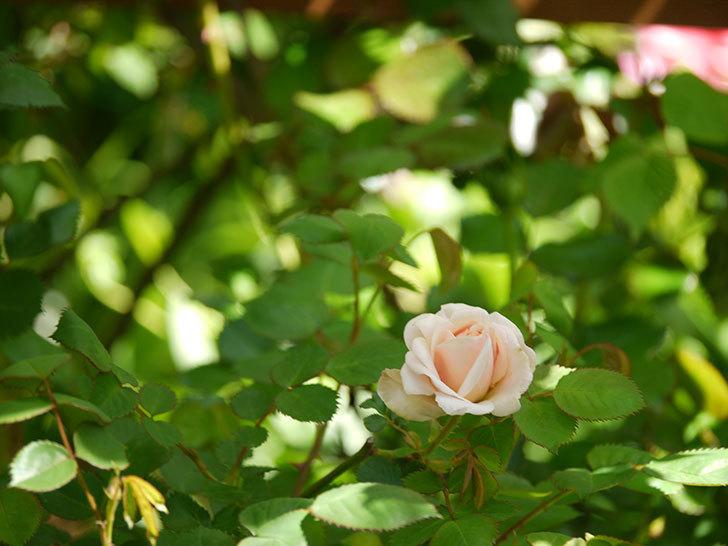 プリティ・レディ(木立バラ)が咲いた。2018年-4.jpg