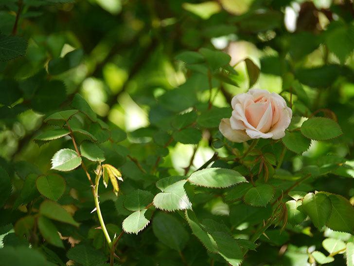 プリティ・レディ(木立バラ)が咲いた。2018年-5.jpg