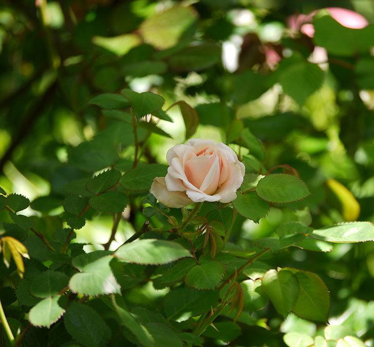 プリティ・レディ(木立バラ)が咲いた。2018年-6.jpg