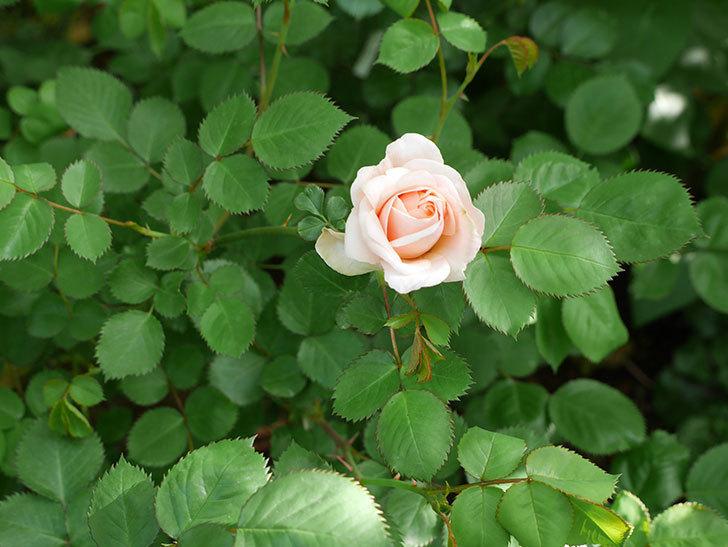 プリティ・レディ(木立バラ)が咲いた。2018年-8.jpg