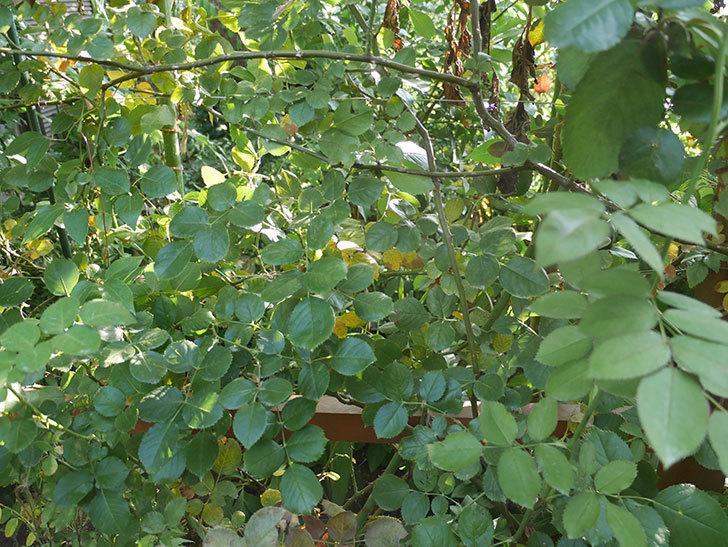 プリティ・レディ(木立バラ)にハダニが発生した。2018年-10.jpg