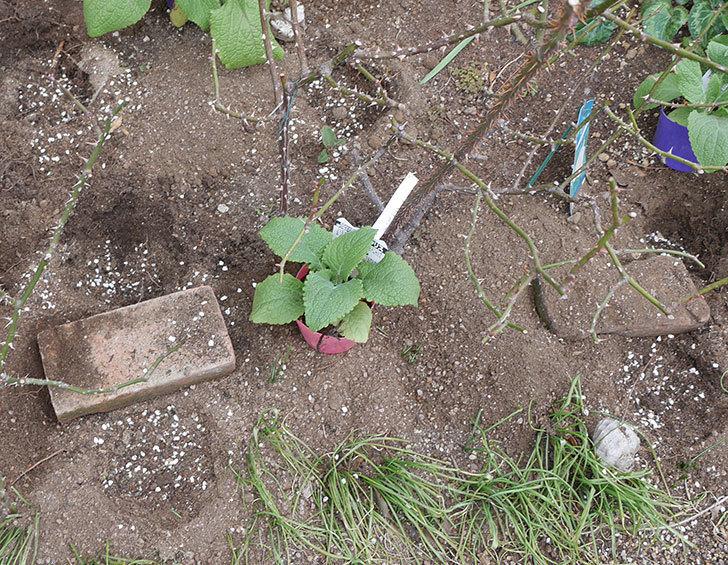 プリティ・レディ(木立バラ)に寒肥を施した。2019年-2.jpg