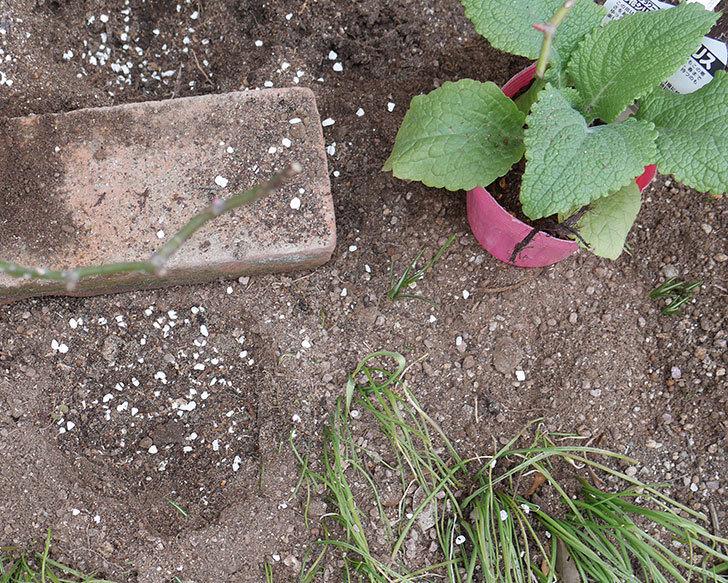 プリティ・レディ(木立バラ)に寒肥を施した。2019年-3.jpg