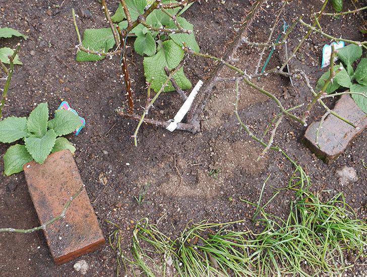 プリティ・レディ(木立バラ)に寒肥を施した。2019年-5.jpg