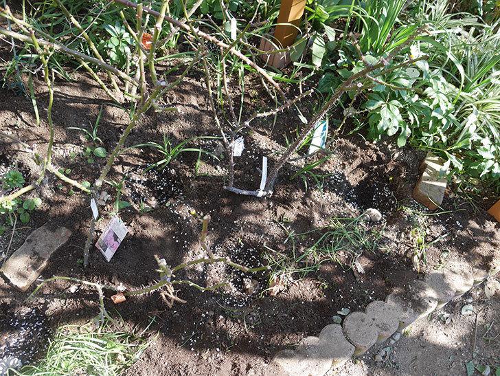 プリティ・レディ(木立バラ)に寒肥を施した。2020年-2.jpg