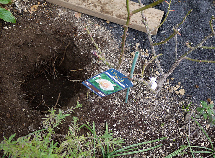 プリティ・レディ(木立バラ)に穴を掘って寒肥をやった。2017年-1.jpg