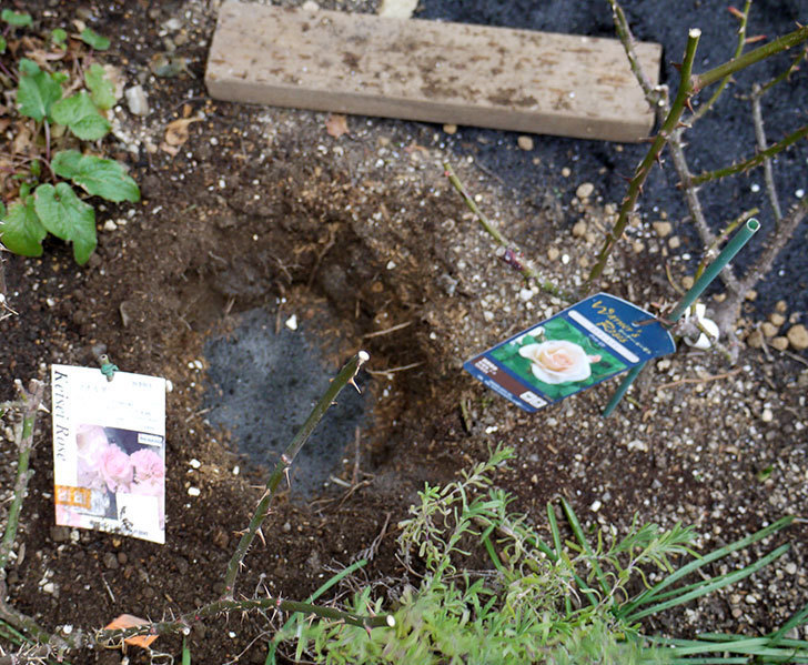 プリティ・レディ(木立バラ)に穴を掘って寒肥をやった。2017年-2.jpg