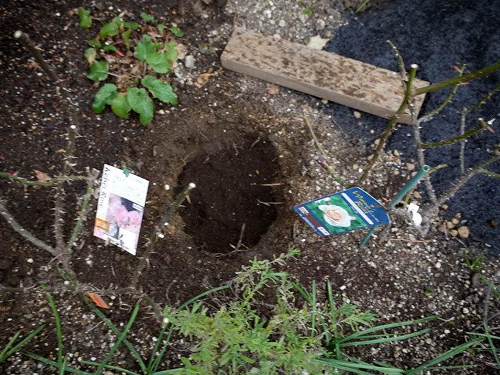 プリティ・レディ(木立バラ)に穴を掘って寒肥をやった。2017年-3.jpg