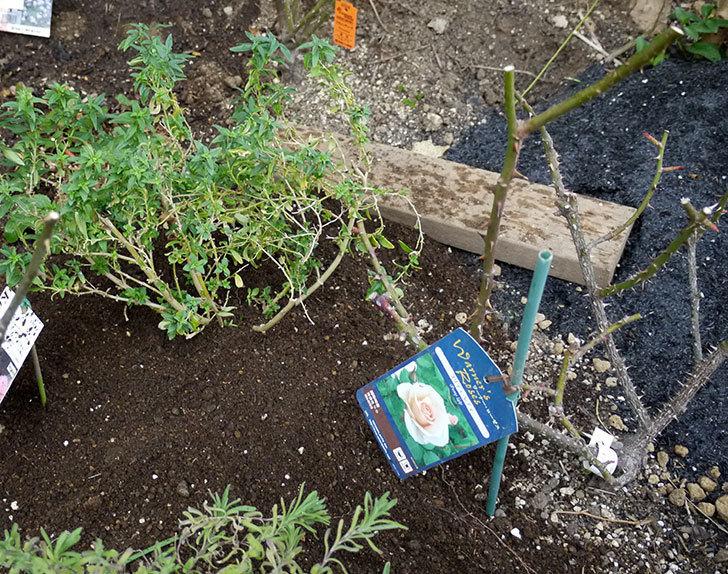 プリティ・レディ(木立バラ)に穴を掘って寒肥をやった。2017年-4.jpg