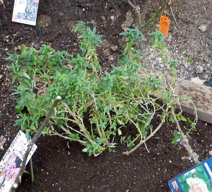 プリティ・レディ(木立バラ)に穴を掘って寒肥をやった。2017年-5.jpg