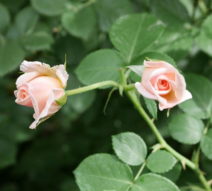 プリティ・レディ(木立バラ)の2番花がまた咲いた。2019年-1.jpg
