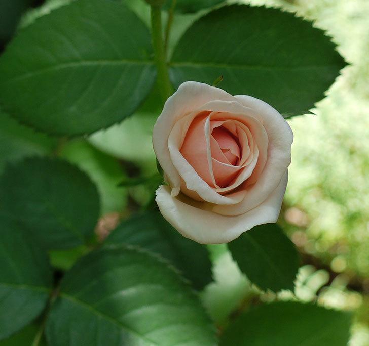 プリティ・レディ(木立バラ)の2番花が咲いた。2017年-1.jpg