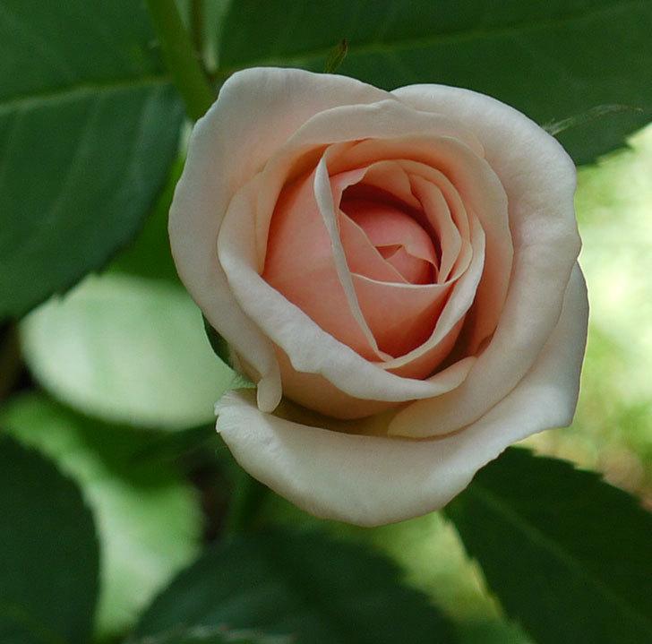 プリティ・レディ(木立バラ)の2番花が咲いた。2017年-2.jpg