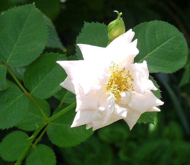 プリティ・レディ(木立バラ)の2番花が咲いた。2017年-3.jpg