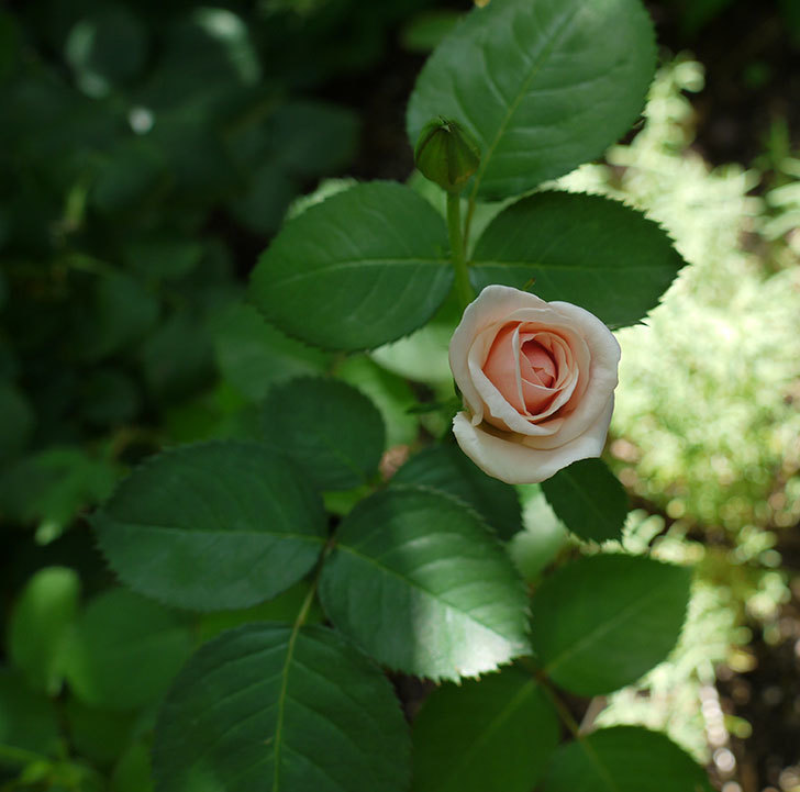 プリティ・レディ(木立バラ)の2番花が咲いた。2017年-4.jpg