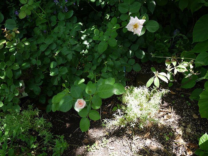 プリティ・レディ(木立バラ)の2番花が咲いた。2017年-5.jpg