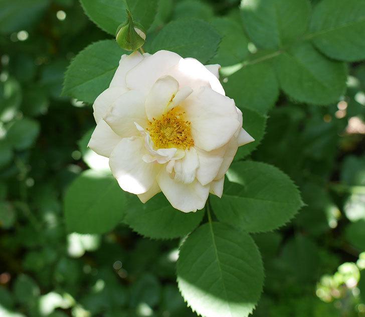 プリティ・レディ(木立バラ)の2番花が咲いた。2018年-1.jpg